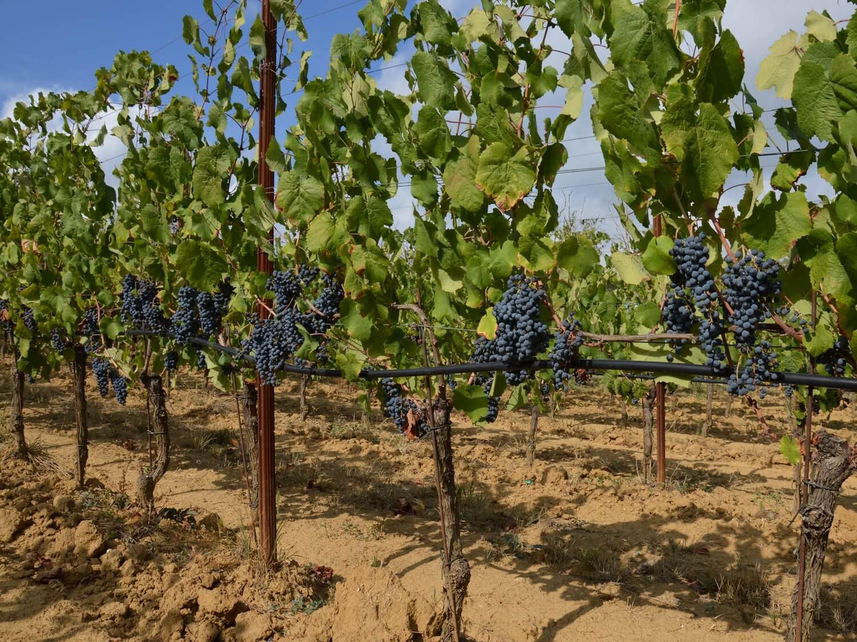 Gallery: immagini su Piè di Colle azienda vinicola toscana 28
