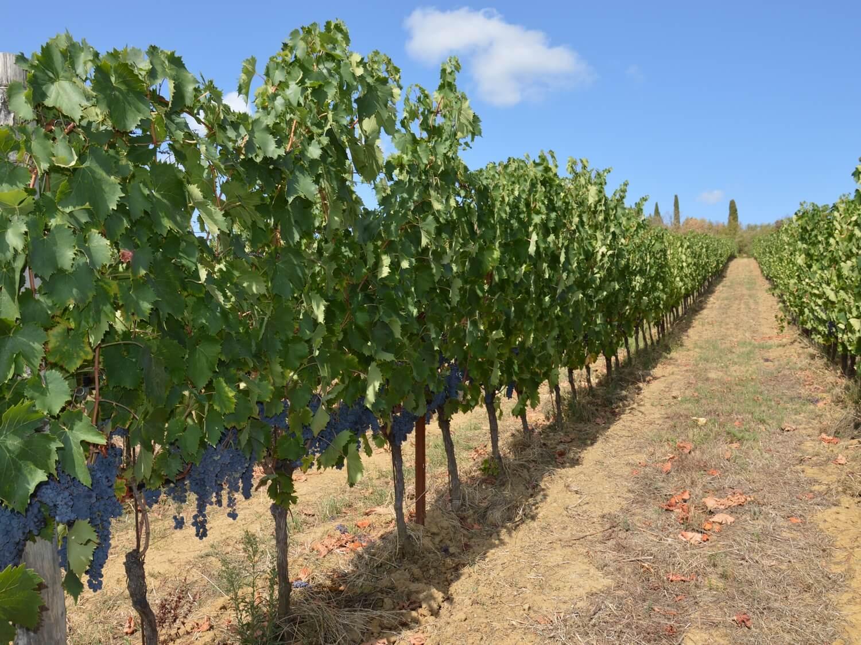 Gallery: immagini su Piè di Colle azienda vinicola toscana 30