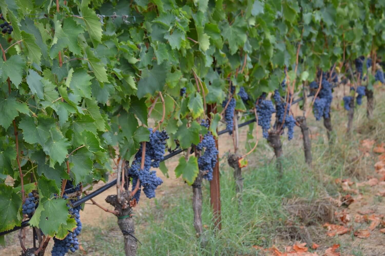 Gallery: immagini su Piè di Colle azienda vinicola toscana 42